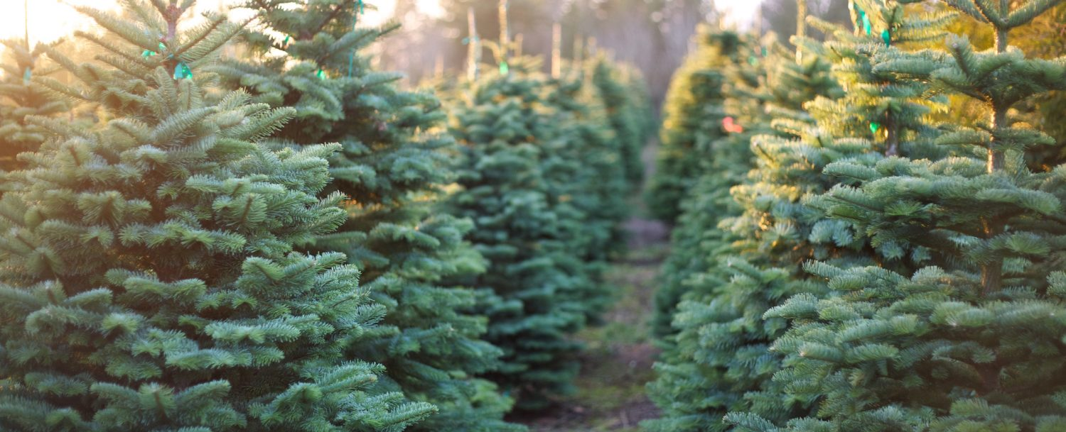 rows of Christmas trees at a farm