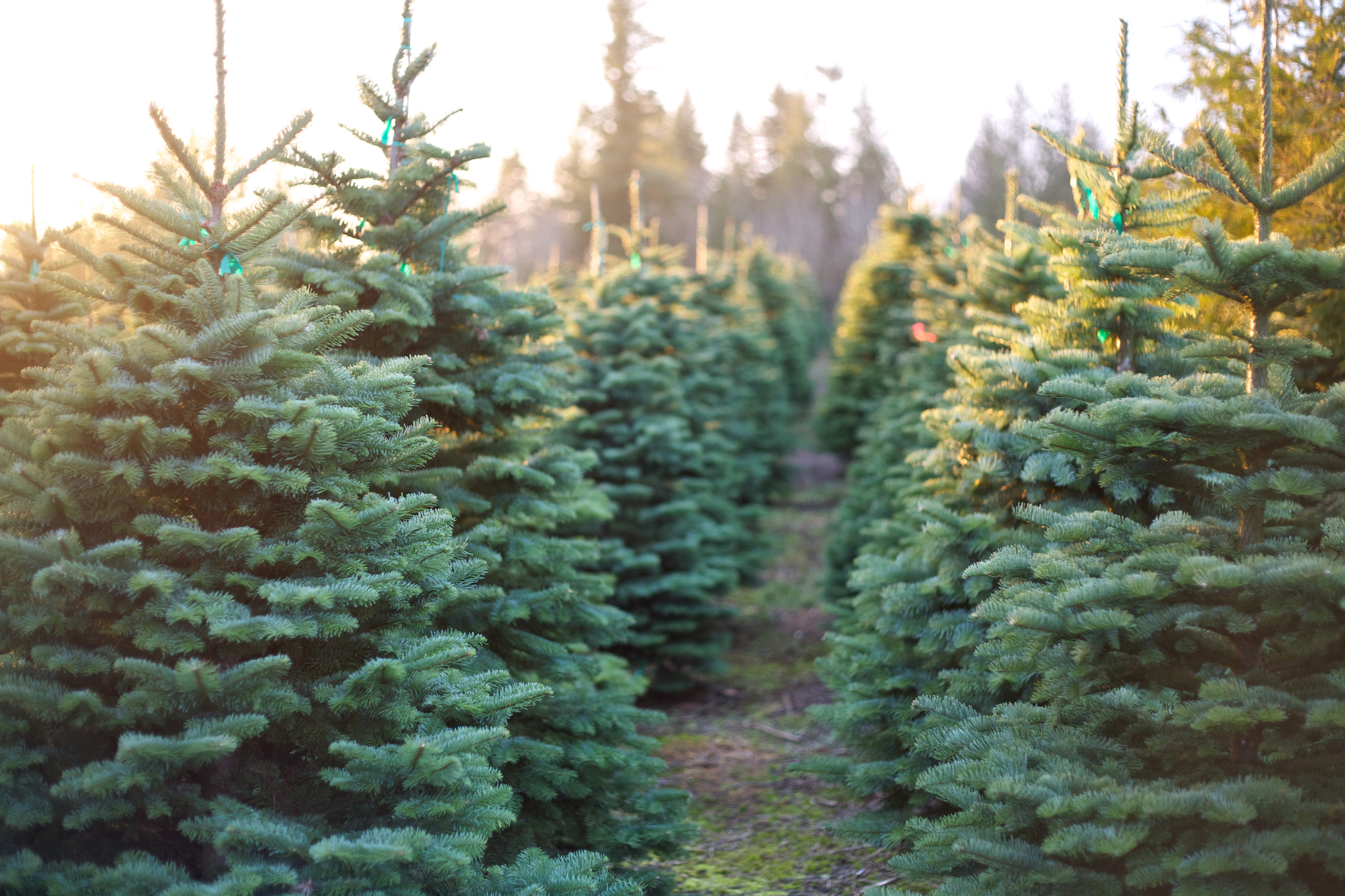 4 Christmas Tree Farms Near Carbondale You Need to Visit ...